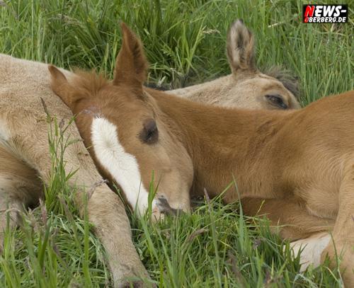 Foto(s) des Tages: Daily moments! Born to be wild – Frühling ist Fohlenzeit – schlafen und spielen