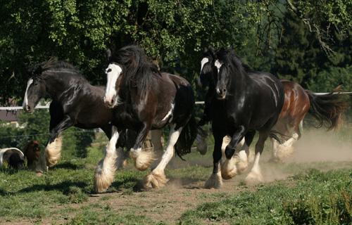 Morsbach Neuhöfchen: ´2. Shire – und Kaltblutevent!´ Shirehorses sind die ´sanften Riesen´ und ´Gentle Giants´ unter den Kaltblütern