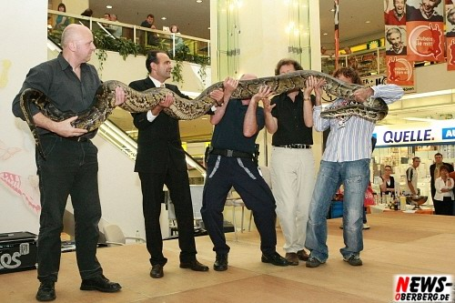 Tigerpython ´ZEUS´ Riesenschlange - Python