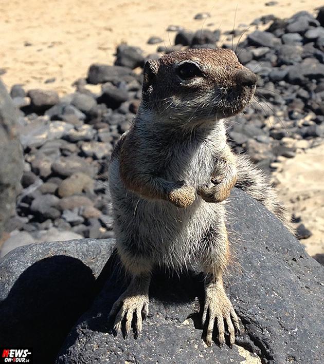 meerkatz-erdmaenchen-streifenhoernchen-fuerteventura