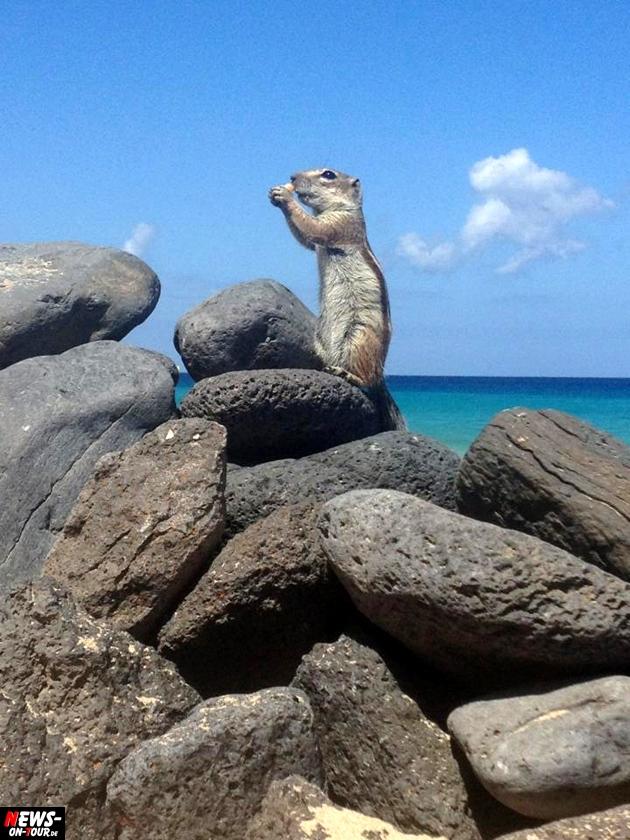 suricat-erdmaenchen-backenhoernchen-fuerteventura
