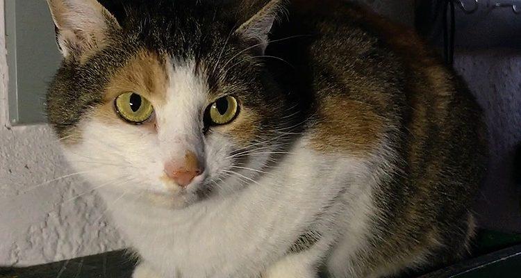 TIER DER WOCHE! Glückskatze Lilly (4, weiblich) sucht erfahrene Katzenmenschen! | Tierheim Olpe (Kinky Cat)