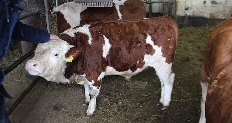 Morsbach: Rettungsaktion! Kuh verläuft sich auf ein Dach und bricht ein